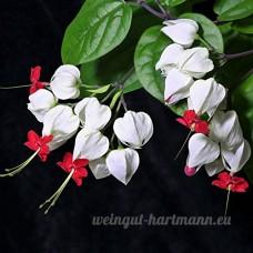 KINGDUO 20Pcs Clerodendrum Thomsonae Bonsai Balf Graines Rares Flower Garden - B07DCHH5QG