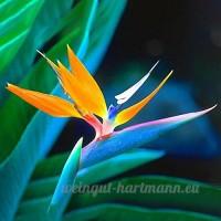 KINGDUO 100Pcs Strelitzia Bonsai Graines Oiseau Du Paradis Fleurs Graines Mix Couleur Forgarden Plantation - B07D7Q5GPL