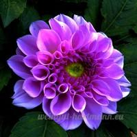 KINGDUO 20Pcs Da Hlia Fleur Graines Colorées Plante Da Hlia Pinnata Cav Bonsai Pour Bricolage Maison Jardin - B07DN5YJJX