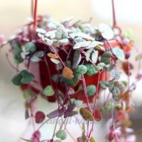 KINGDUO Egrow 100Pcs/Bag Ceropegia Succulentes Graines De Semences De Plantes De Jardin Intérieur Fleur Rare Bonsai - B07DN4FQX6