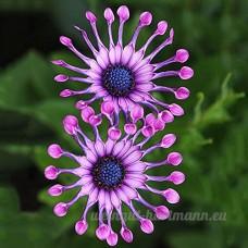 KINGDUO Egrow 30Pcs/Pack Yeux Bleus Graines Rares Coloré Fleur Plante Jardin Bonsai Plantes En Pot - B07DL5SJFF