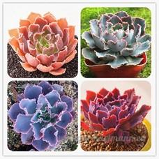 KINGDUO 100Pcs/Pack Echeveria Succulentes Graines Jardin Plantation Plante Rare De Lithops Bonsai Graine De Fleur - B07DD6P1LX