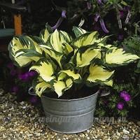 KINGDUO 100Pcs Plantain Lily Flower Seeds Vert Jaune Hosta Plantes Graines Jardin Plantes Vivaces-4 - B07DD6VFGW