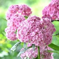 KINGDUO Graines De Fleur D'Hortensia Fraise Vanille De 50Pcs Plantation Fleur Bonsai Tree Seeds - B07DCJNKL1