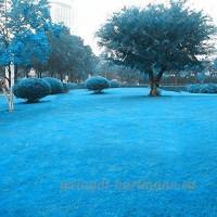 KINGDUO 500 Pcs Blue Grass Seed Rare Gazon Graines Garden Courtyard Décoration Graminée Vivace - B07D7RZ3D7