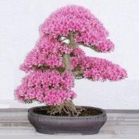 KINGDUO 10Pcs Rare Sakura Graines Cherry Blossoms Graines Jardin Fleur Bonsaï - B07D76BDZZ