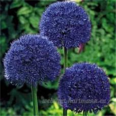 KINGDUO 100 Pcs Jardin Extérieur Géant Allium Giganteum Belle Fleur Graines Bonsai Plante Des Graines-2 - B07D76HFDX