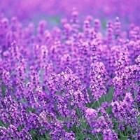 KINGDUO 200Pcs Provence Lavande Graines Parfumée Jardin Bio De La Maison Du Graines Fleur Bonsai Plante - B07D75YVWD