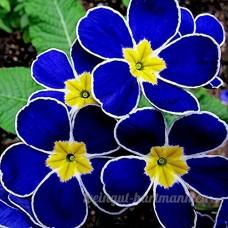 KINGDUO 100pcs bleu soir Primrose graines de jardin rares fleurs parfumées bonsaï graines - B07D541W1W